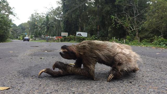 This image shows the typical event of a large three-toed sloth slowly crossing the beach highway near Playa Cocles in Puerto Viejo, Costa Rica.