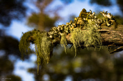 tree moss_cape