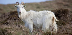 Cashmere-goat-1030x502.jpg