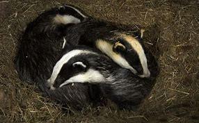 Badger Setts Lancaster Way