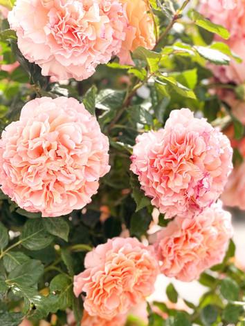 Unsere herrlichen Rosen auf der Paradiesterrasse