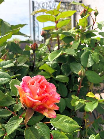 Des roses au paradis