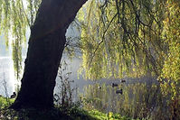Propertius Press_Willow Tree.jpg