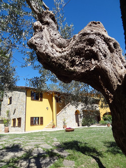 Beautiful olive trees