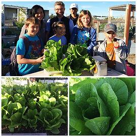 SDUSD Garden to Cafe_Harvesting Lettuce