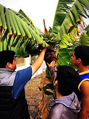 CVHS.banana.4.24.18_edited.jpg