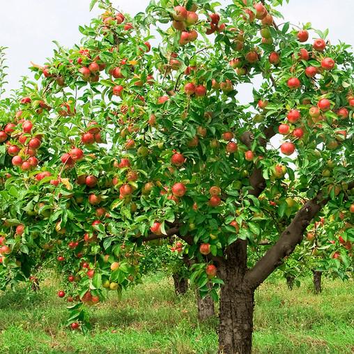 Malus domestica (Apple)