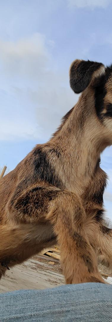 Arapawa Goat