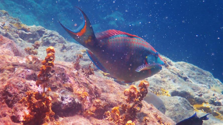 Parrotfish Indians BVI.jpg