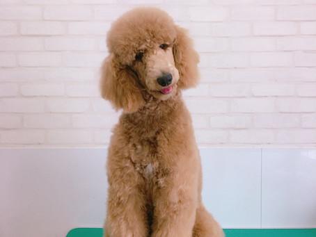 里親募集 スタンダードプードル レッド パティーちゃん 子犬 8ヶ月 シャンプーしました。東京都品川区 JR大森駅