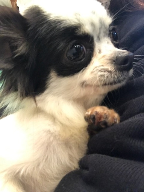 里親募集 ロングコートチワワ 1歳 子犬 パーティーカラー