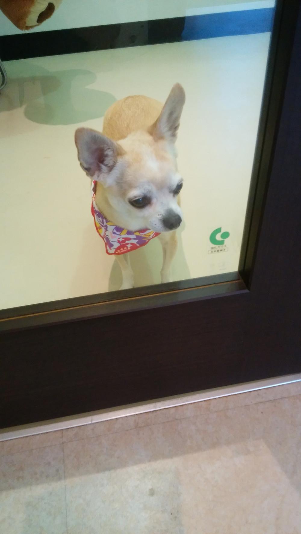 大田区大森 チワワ カノンちゃん ママのお迎えまだかな? 受付側から見てる写真