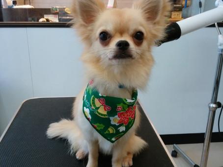里親決まりました あーちゃん チワワ 東京都品川区で保護犬に会える