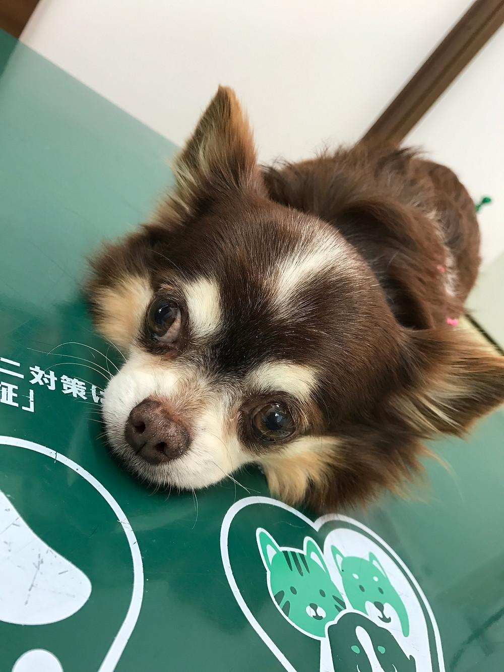 殺処分0を目指す一般社団法人つなぐいのち 保護犬 チョコ ショコラ 里親寄付 診察中