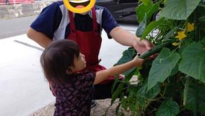 きゅうり収穫🥒とお散歩~福岡県飯塚市中 幸袋らぶはーと保育園~ 365日開園