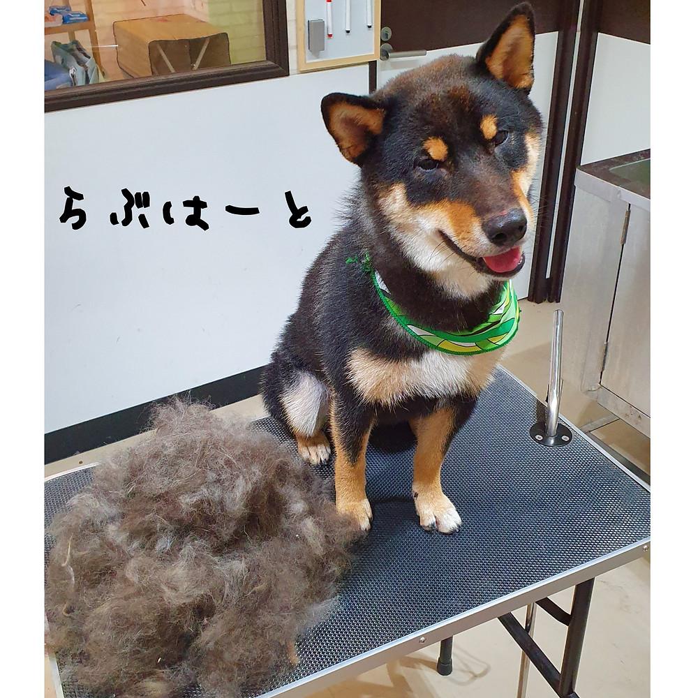 東京都港区港南 ペットホテル ペットサロン  らぶはーと 柴犬