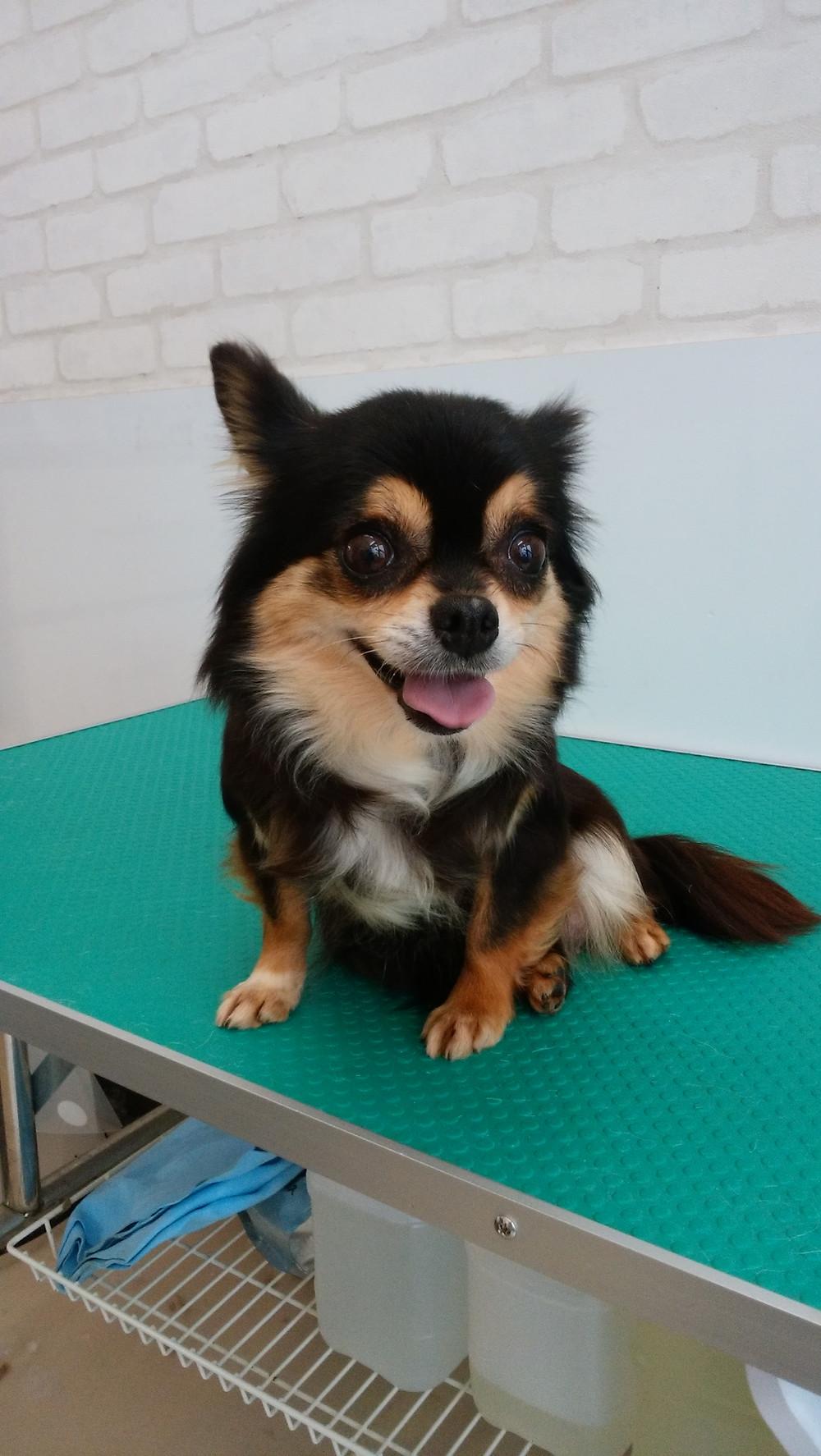 東京都品川区南大井里親募集保護犬チワワ