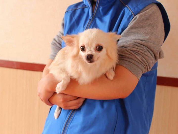 熊本地震で益城町にて保護された チワワ 路上で保護されたのですが、恐らくブリーダーの引退犬を逃したと思われる。