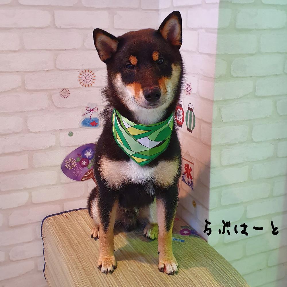 東京都港区港南 柴犬 ペットホテル らぶはーと