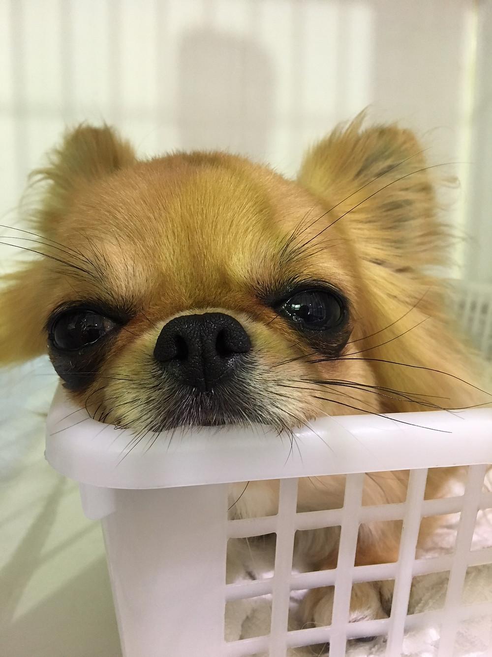 東京都品川区南大井保護犬チワワ