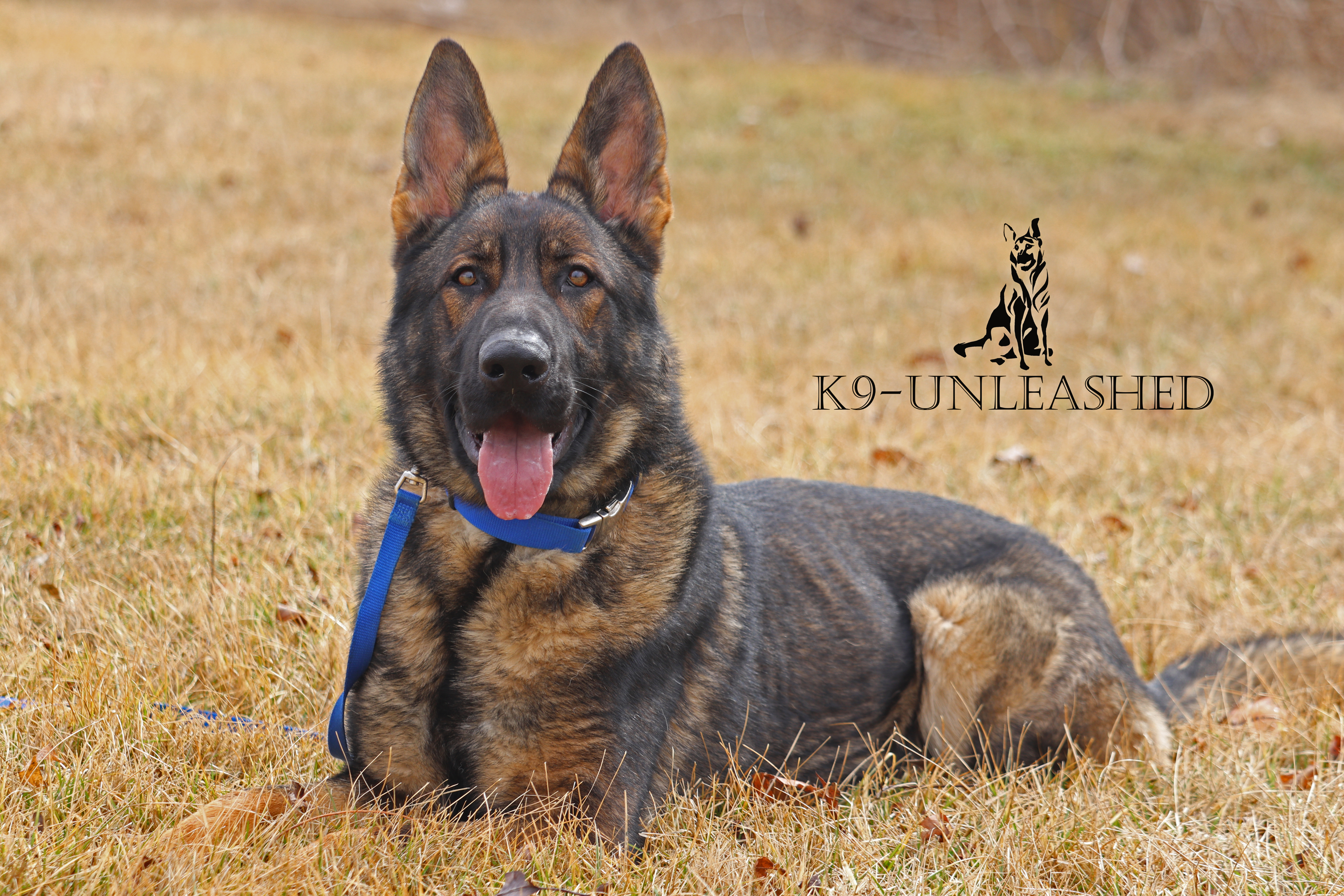 K9 Puppy, Down Stay, K9 Unleashed