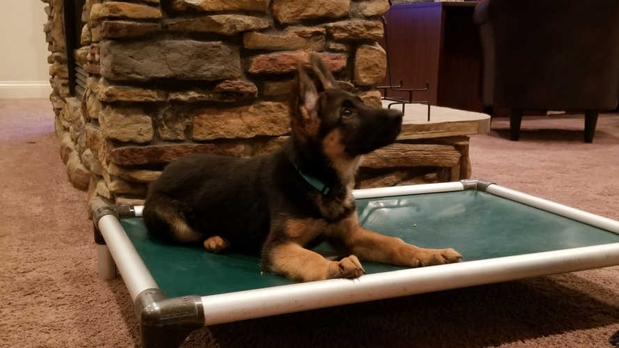 K9 Kira, down stay pupy training