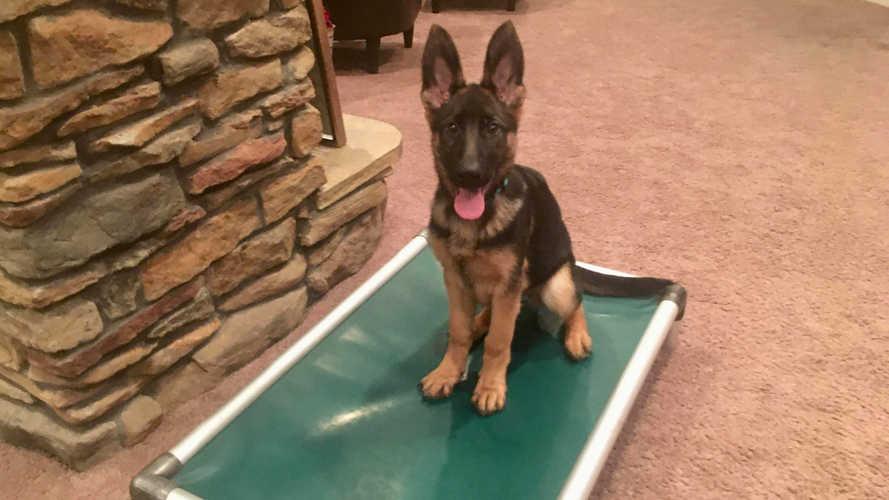 K9 Kira, big ears puppy