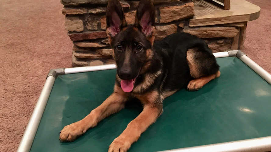 K9 Kira, targeted down stay