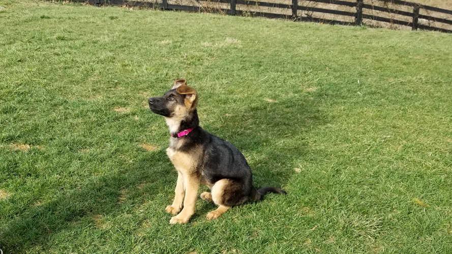 K9 Karma, sit stay puppy