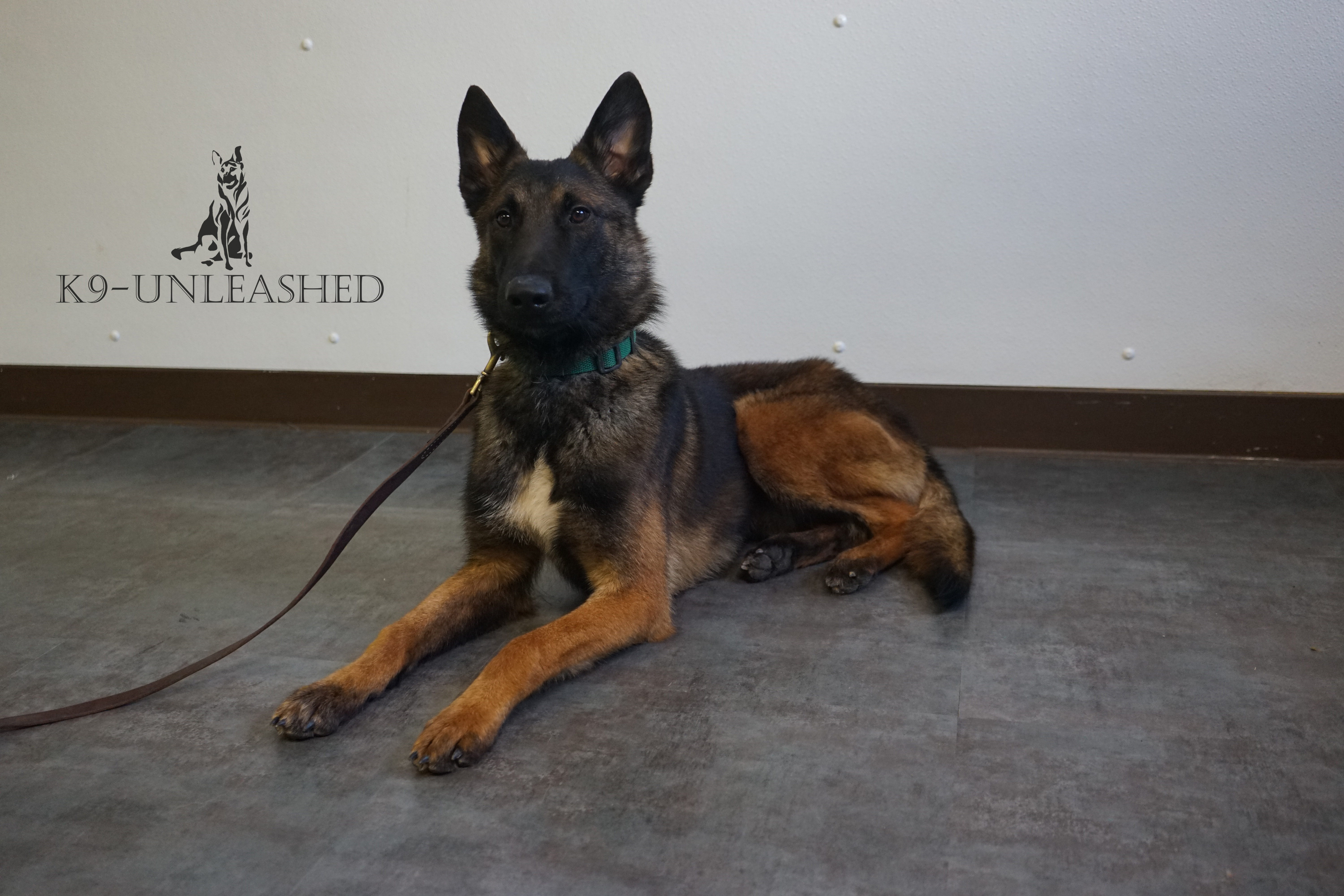 Caesar, Protection Dog ForSale