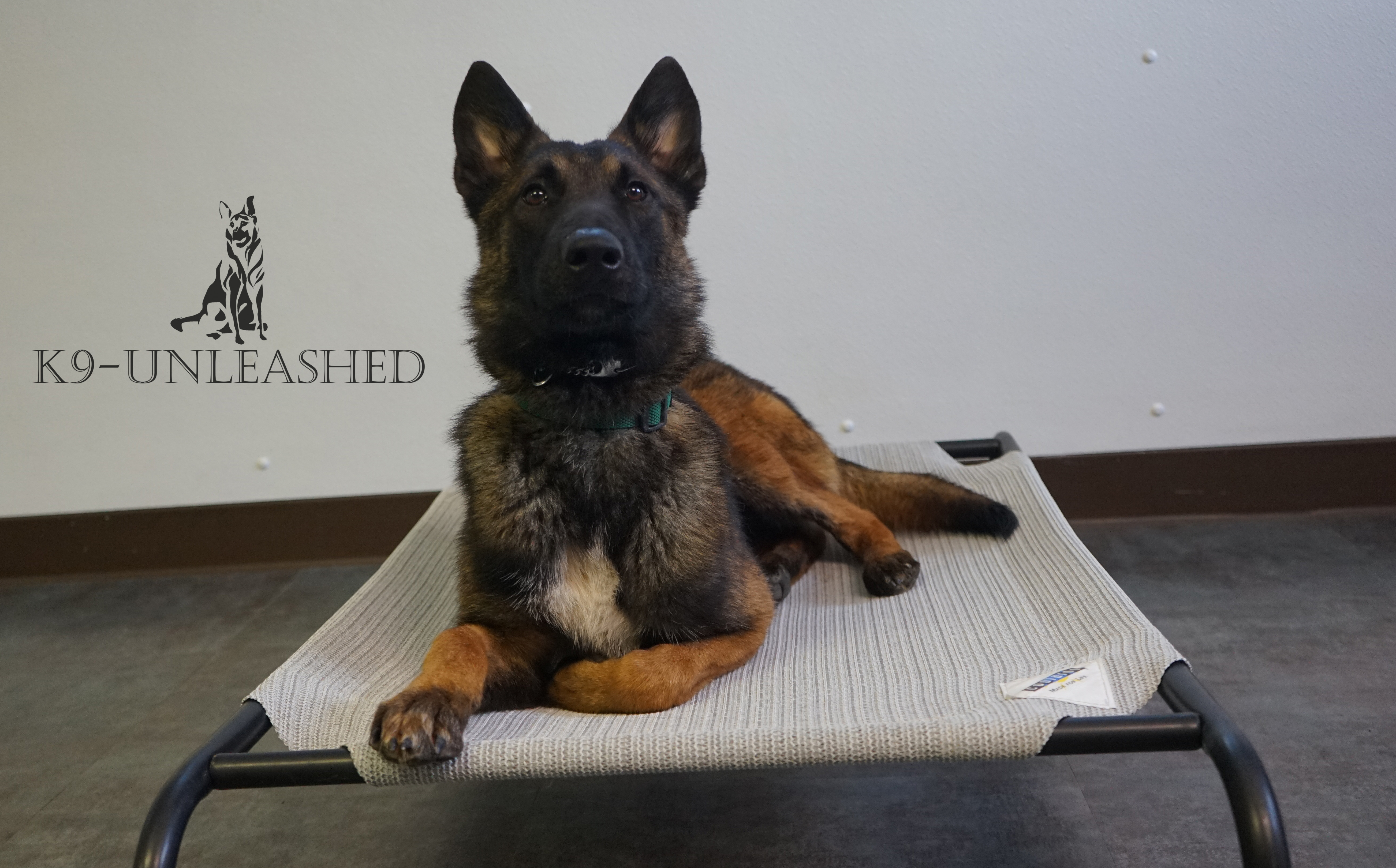 Caesar, Protection Dog For Sale