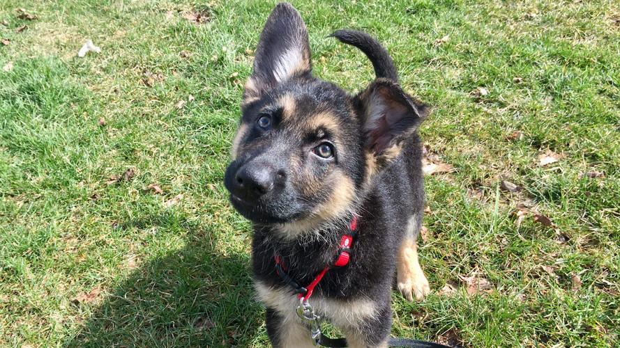 GSD puppy pic.jpg