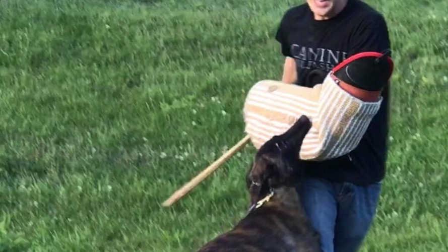 Brindle Dutch Shepherd getting a grip