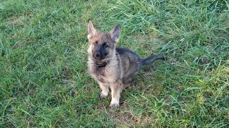 K9 Jax puppy sit ears up.jpg