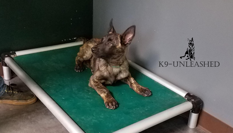 Feonix working dog K9