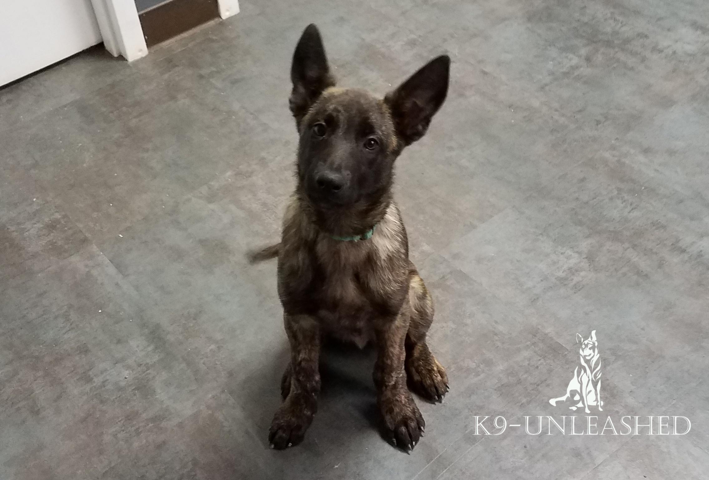 Feonix family protection dog