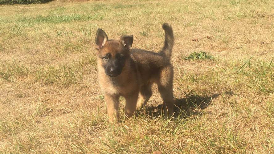 K9 Jinx puppy stand front.jpg
