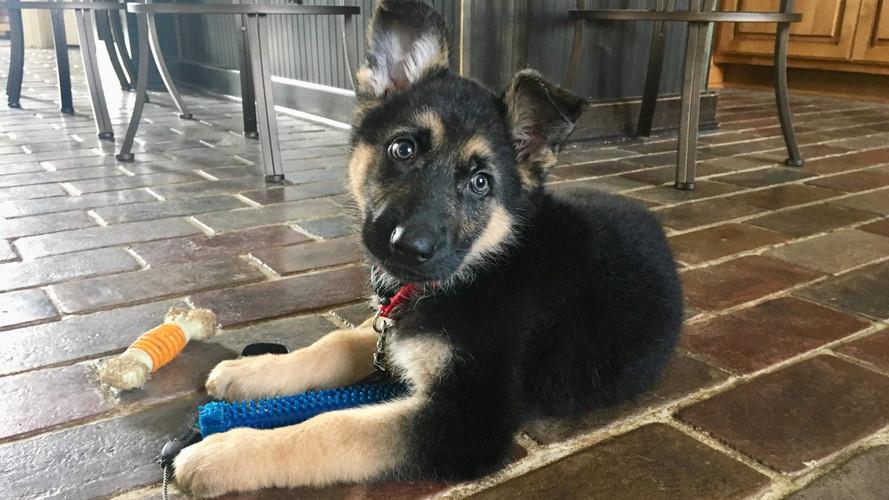 Cute Puppy GSD.jpg
