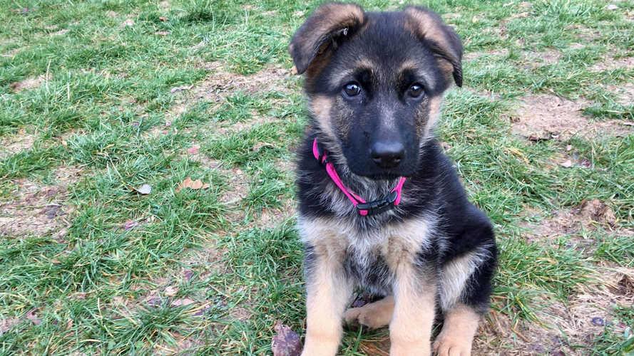 K9 Karma Sit puppy