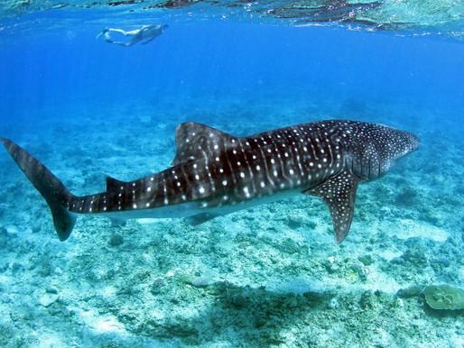Deep-sea mining - potential devastation on marine biodiversity