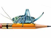 Cricket on Pencil