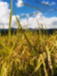 自家栽培したお米でスイーツを作っています♪