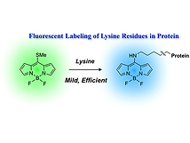 2017(fluorescent labeling of lysine resi