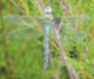 Blue Emperor.jpg