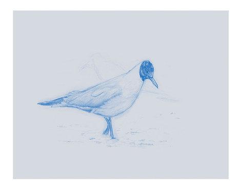 'Black Headed Gull, Carbis Bay' PRINT