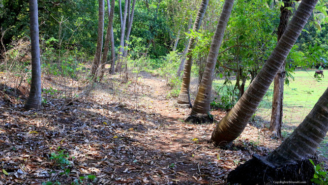 Bhatvadi mango and coconut orchard road