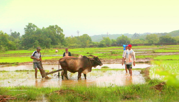 Bulls being used to plough the fields in the Mithmumbari area.