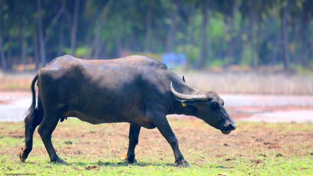Buffaloes are more common than cows
