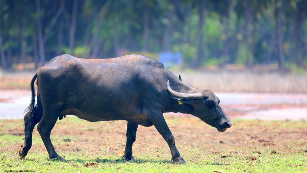 10.42 Buffaloes are more common than cows