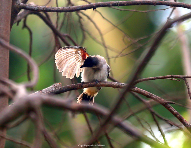 Bulbul cleaning its feathers. Bulbul is a commom bird in Konkan area